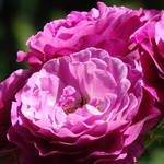 """Rose Flowers Purple Pink Roses 1 Rose Garden Art"" by BasleeTroutman"