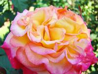 Roses Pink Yellow Rose Flowers 2 Rose Garden Art