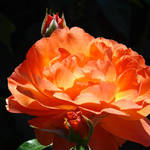"""Roses Orange Rose Flowers 2 Rose Garden Artwork"" by BasleeTroutman"