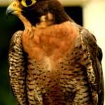 """Peregrine Falcon"" by rayjacque"