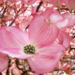 """DOGWOOD Flowers Pink Dogwood Tree 1 Giclee Art"" by BasleeTroutman"
