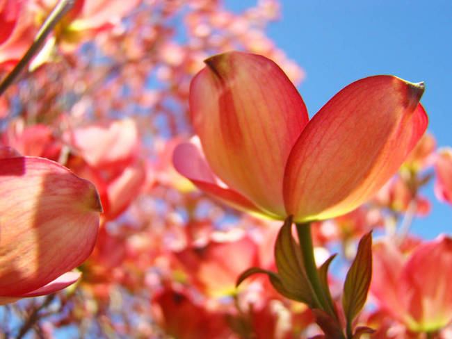 Dogwood Pink Orange Flowers 4 Tree Landsca By Baslee Troutman Fine Art Prints