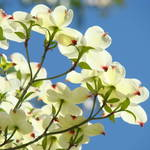 """Dogwood Tree Landscape 1 Blue Sky White Dogwood Fl"" by BasleeTroutman"