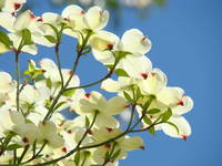 Dogwood Tree Landscape 1 Blue Sky White Dogwood Fl