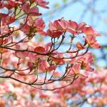 """Pink Dogwood Landspace 27 Blue Sky Dogwood Trees"" by BasleeTroutman"