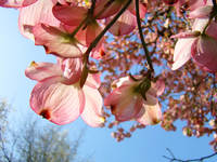 Blue Sky Sunlit Pink Dogwood Flowers 17 Giclee Art