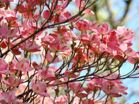 Dogwood Flowers White Dogwood Tree Blue Sky Art