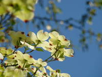 White Dogwood Tree Flowers 13 Blue Sky Landscape A