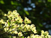 White Dogwood Flowering Tree 2 Sunlit Dogwood Art