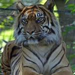 """""""Tiger On Guard"""" by CarlPurkins"""