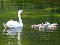Mother & Cygnets