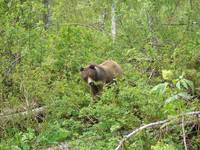 GRIZZ IN THE BUSH (2)