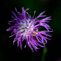 Westboro Wildflower Vll ( Knapweed)
