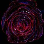 """""""Glowing Rose"""" by EnjoyART"""