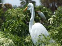 Watchful Egret