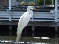 Perched Egret