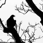 """Eagle in near Silhouette"" by TonyDoddPhotography"