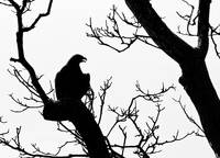 Eagle in near Silhouette