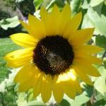 """Sunny Flower"" by HomesteadMel"