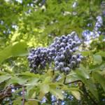 """""""Blue Berries"""" by HomesteadMel"""