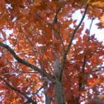 """Harvest Trees"" by HomesteadMel"