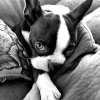 """Wistful Boston Terrier"" by bostonsandboxers"