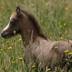 """""""Foal in the grass"""" by Saxon"""