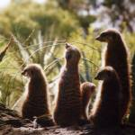 """Meerkat Family"" by Saxon"