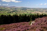 Simonside Hills in the heather