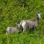 """Mama & Baby Bighorn Sheep"" by 1blessedmom"
