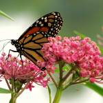 """Monarch Butterfly ~ HBW!"" by 1blessedmom"