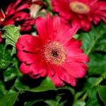 """""""Red Daisies"""" by mirabelleza"""