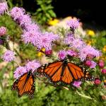 """Butterfly on Liatris"" by Gaylefleming"