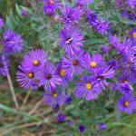 """The purpleist asters"" by rderder"
