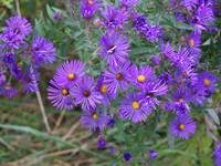 The purpleist asters