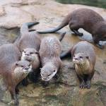 """Otters"" by Liaonet"