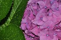 Red Hydrangea with leaf