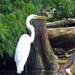 """Snowy Egret"" by nostalgiawest"