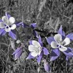 """""""Columbines"""" by nostalgiawest"""