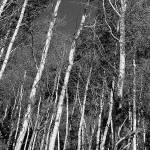 """""""Aspen at Owl Creek  07-08-09-6486Pic2"""" by ellielouwho"""