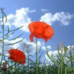"""Solitary Poppy Looks Skyward"" by aylesburylocksmith"