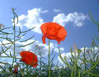 Solitary Poppy Looks Skyward