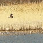 """""""Bald Eagle at Plum Island"""" by PaulGalante"""