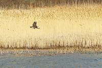 Bald Eagle at Plum Island