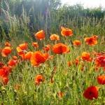 """""""Poppy field"""" by OooBabyBaby"""