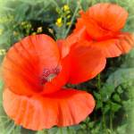 """""""Poppies"""" by OooBabyBaby"""