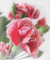 Red-Pink Carnations 1 Painterly
