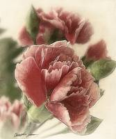 Red-Pink Carnations 1 Rustic