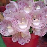 """Espiritu Santo - Orchids of Finca Dracula"" by JohnGSchellinger"