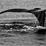 """Humpback Whale"" by katbphotos"